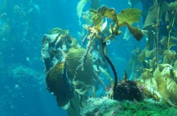 الأعشاب البحرية البنية تخفف من تحمض المحيطات