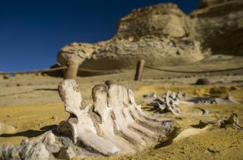 اكتشاف أول عظام لطائر البجعة في مصر