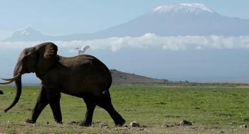 فيل عملاق يطارد سيارة محاولا دهسها
