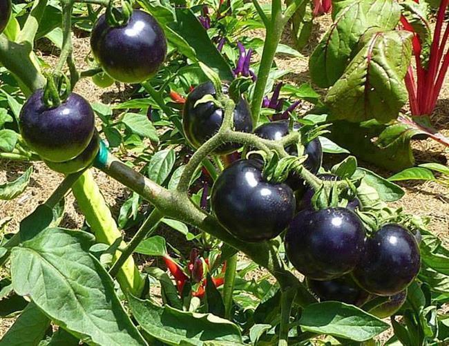 Black tomato البندورة السوداء Big2015741947RN704
